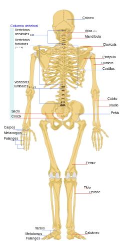 Vistas frontal y trasera del esqueleto humano (Wikimedia Commons ...