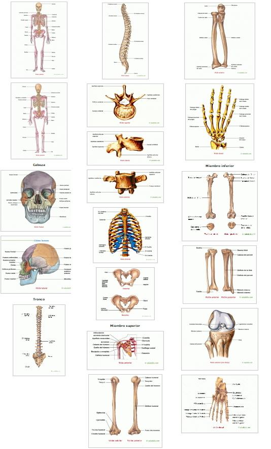 Esqueleto humano, cabeza, tronco y extremidades. Saludalia ...